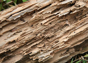 Termite-damaged wood showing rotting galleries outside of a Bethel home